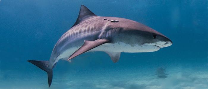 Requin tigre cc-Albert Kok