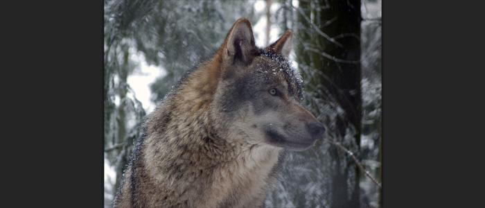 Loup gris européen menacé de massacre